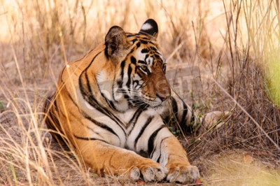 Fototapeta Zrelaksowany tygrys w Kanha