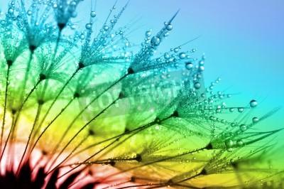 Fototapeta zroszone dandelion bliska