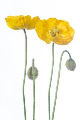 Fototapeta zwei żółte klatschmohnblüten mit blütenknospen