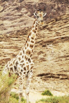 Fototapeta żyrafa