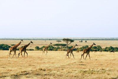 Fototapeta Żyrafy w Masai Mara w Afryce