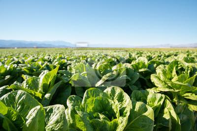 Fototapeta Żyzne Pole organicznych sałaty Rośnie w Kalifornii rolnych. Pole organicznych sałaty rosnącej w zrównoważony farmie w Kalifornii z górami w plecy.