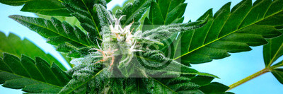 Naklejka A panorama of a flowering cannabis bud right before harvest, with yellow stigmas and white trichomes on leaves, a close-up macro shot