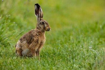 Naklejka A wild brown hare on a meadow