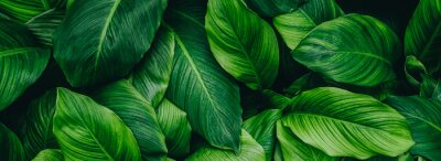 Naklejka abstract green leaf texture, nature background, tropical leaf