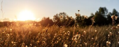 Naklejka Abstract warm landscape of dry wildflower and grass meadow on warm golden hour sunset or sunrise time. Tranquil autumn fall nature field background. Soft golden hour sunlight panoramic countryside