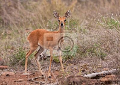 Naklejka Adult Steenbuck stojących w trawie