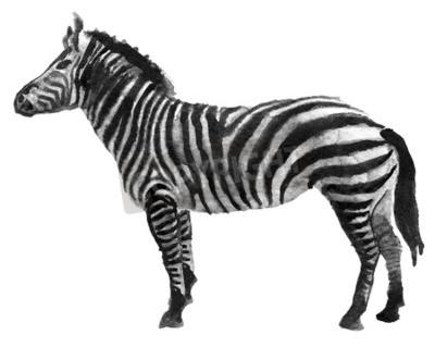 Naklejka Akwarela szkic zebra na bia? Ym tle