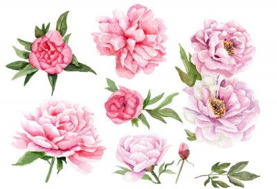 Naklejka akwarele rysunki piwonii. zestaw kwiatów i liści