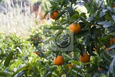 Naklejka Albero di arance w Sicilia
