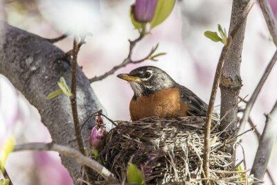 Naklejka American Robin (Turdus migratorius)