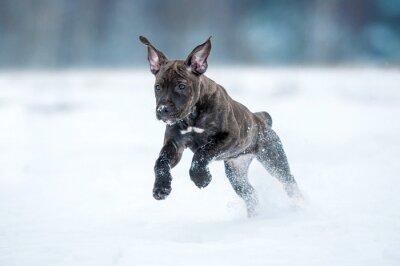 Naklejka Amerykański staffordshire terrier puppy uruchomiony w zimie