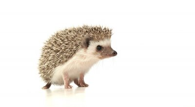 Naklejka An adorable African white- bellied hedgehog standing on white background