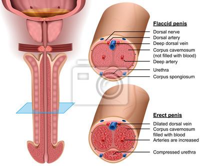 schemat wejściowy penisa członek nie porusza się podczas erekcji