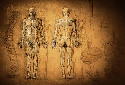 Naklejka anatomii człowieka rysunek, stary, płótno
