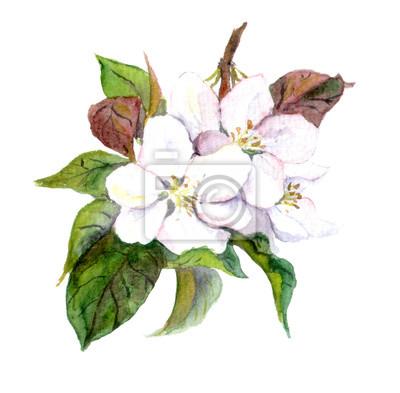 Apple Tree kwiaty, akwarela ilustracja