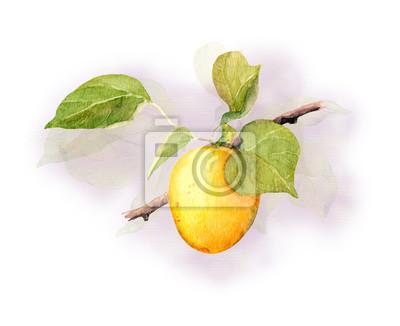 Apricot fruit branch, Watercolor illustration