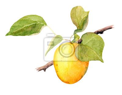 Apricot owoce gałąź, Ilustracja akwarela