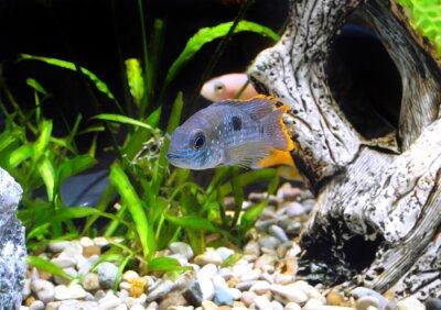 Naklejka Aquarium Fish dwarf Cichlid-Apistogramma nijsseni.