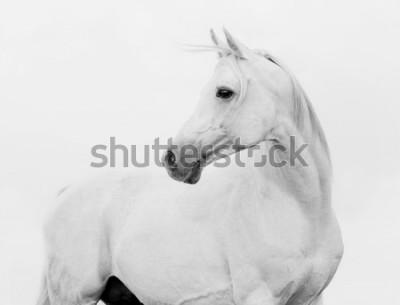 Naklejka arab horse in high key