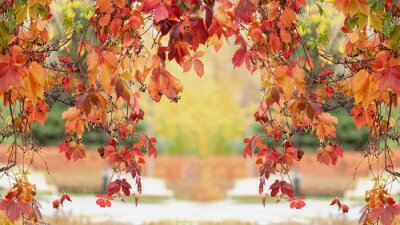 Arch of wild grapes with red leaves autumn natural background