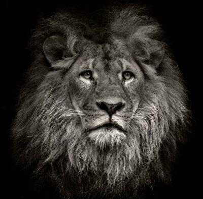 Naklejka arrogant lion