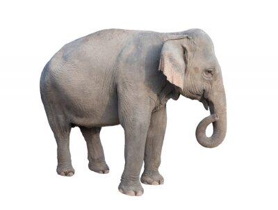 Naklejka asia słoń