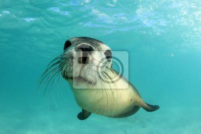 Naklejka Australian Sea Lion