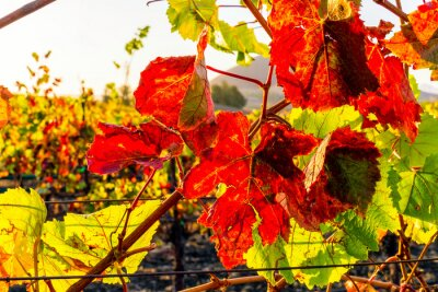 Autumn in the Vineyard with Grape Leaves turning Colors