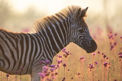 Naklejka Baby zebra walking along long grass and wild flowers with back lighting from the sun
