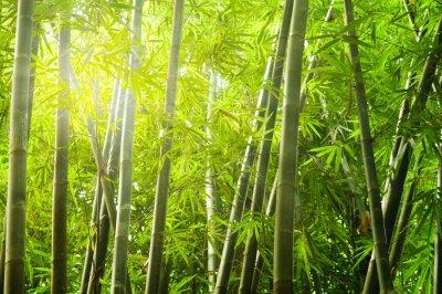 Naklejka Bambus lesie z promieni światła