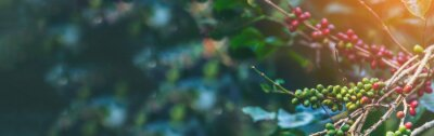 Naklejka Banner panoramic Ripe Red coffee bean berry plant fresh seed coffee tree growth green eco organic farm. Banner red ripe seed robusta arabica berries harvest coffee garden. Coffee bean tree copy space