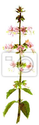 Basil kwiaty, akwarela
