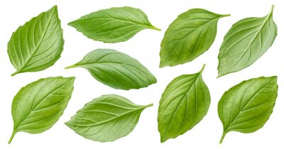 Naklejka Basil leaves isolated on white background with clipping path