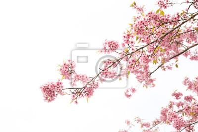 Naklejka Beautiful cherry blossom or sakura in spring time over  sky