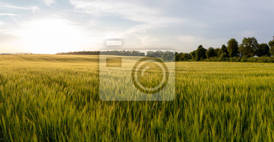 Naklejka Beautiful crop field. summer sunset panorama around