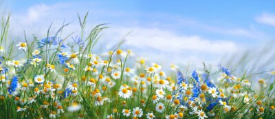Naklejka Beautiful field meadow flowers chamomile, blue wild peas in morning against blue sky with clouds, nature landscape, close-up macro. Wide format, copy space. Delightful pastoral airy artistic image.