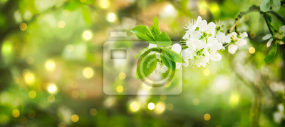 Naklejka Beautiful floral spring abstract background of nature. Branches of blossoming cherry with soft focus on gentle light green background. Greeting cards with copy space