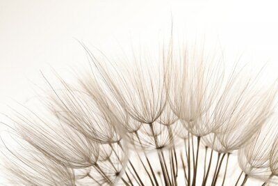 Naklejka Beautiful fluffy dandelion flower on white background, closeup