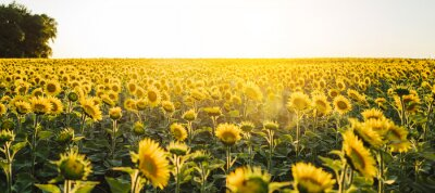 Naklejka Beautiful panoramic view of a field of sunflowers in the light of the setting sun..Yellow sunflower close up. Beautiful summer landscape with sunset and flowering meadow Rich harvest Concept...