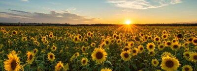 Naklejka Beautiful sunset over sunflower field