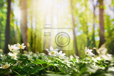 Naklejka Beautiful white flowers of anemones in spring in a forest close-up in sunlight in nature. Spring forest landscape with flowering primroses.