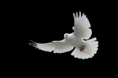 Naklejka beyaz Güvercin