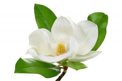 Naklejka Biała magnolia