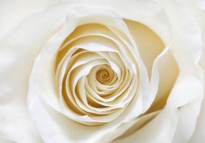 Naklejka biała róża