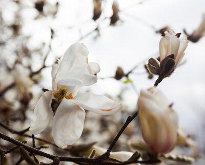 Naklejka Białe kwiaty drzewa magnolii w wczesną wiosną