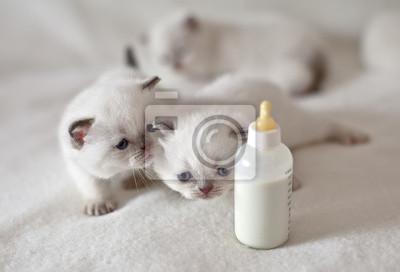 Białe małe koty przeszukiwania do smoczka z mlekiem