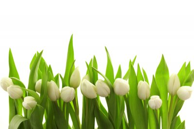 Naklejka Białe tulipany