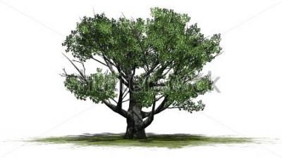 Naklejka Białego dębu drzewo - korzystać na białym tle