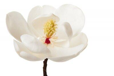 Naklejka Biały kwiat magnolii Magnolie drzewo kwiatowym Kwiaty